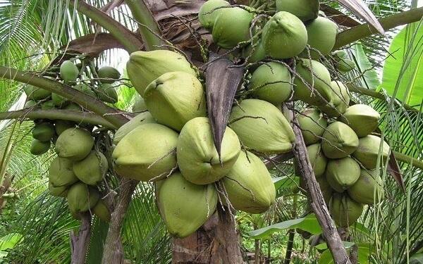 Dừa sáp Trà Vinh nức tiếng xa gần bởi sự ngon lạ và cái giá phải trả cho một quả dừa lên tới tiền trăm.