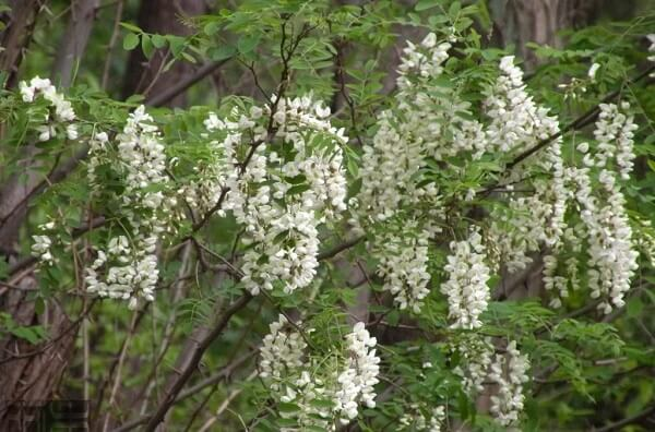Cây hoa hòe có tác dụng gì, uống nước hoa hòe có tốt không?